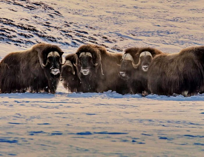 arctic-wildlife-safari-8-days-ittoqqortoormiit-east-greenland-Guide to Greenland13