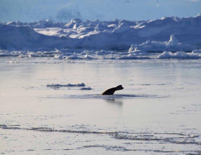 arctic-wildlife-safari-8-days-ittoqqortoormiit-east-greenland-Guide to Greenland17