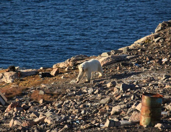 arctic-wildlife-safari-8-days-ittoqqortoormiit-east-greenland-Guide to Greenland32