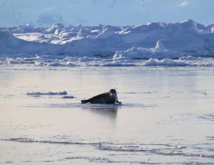 arctic-wildlife-safari-8-days-ittoqqortoormiit-east-greenland-Guide to Greenland40