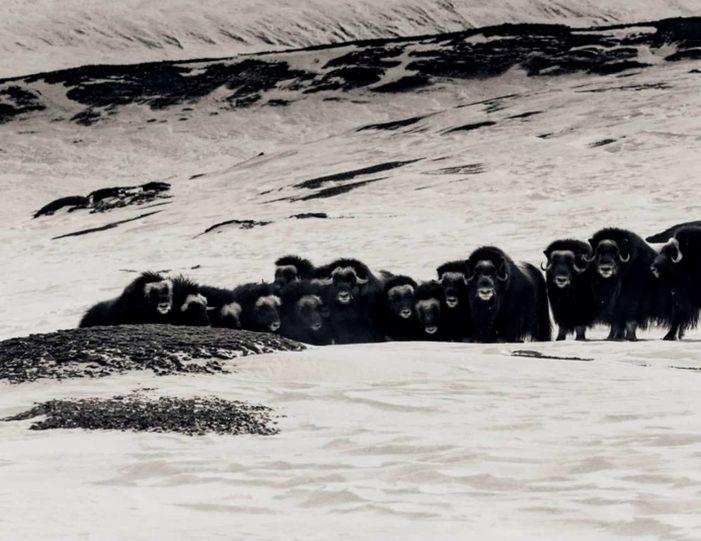 arctic-wildlife-safari-8-days-ittoqqortoormiit-east-greenland-Guide to Greenland7
