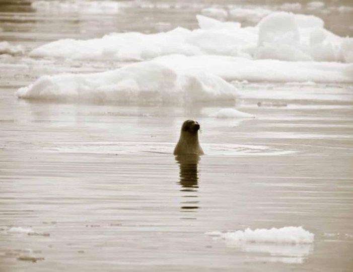 arctic-wildlife-safari-8-days-ittoqqortoormiit-east-greenland-Guide to Greenland8