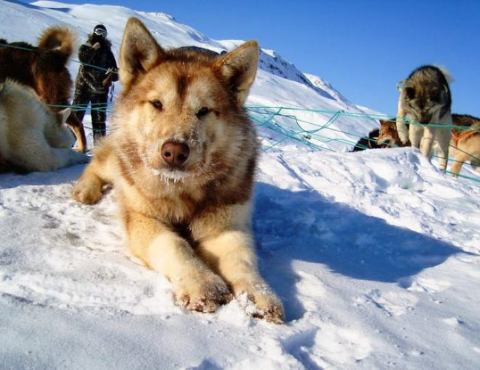dog-sledding-tour-kangerlussuaq-west-greenland - Guide to Greenland15