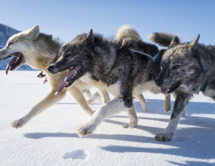 dogsled-expedition-hunting-and-fishing-on-sea-ice-uummannaq-north-greenland-Guide to Greenland16