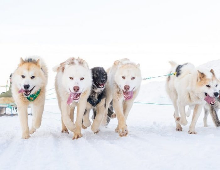 dogsled-tour-ilulissat-disko-bay - Guide to Greenland1