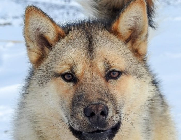dogsled-tour-ilulissat-disko-bay - Guide to Greenland12