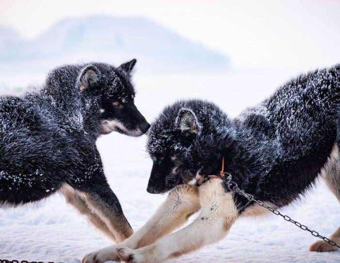dogsled-tour-ilulissat-disko-bay - Guide to Greenland3