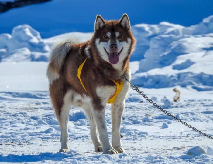 dogsled-tour-ilulissat-disko-bay - Guide to Greenland6