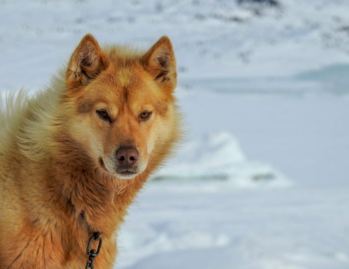 dogsled-tour-ilulissat-disko-bay - Guide to Greenland8