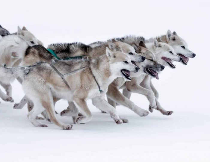 dogsledding-5-hours-qeqertarsuaq-disko-bay-5-photo-visit-greenland-Guide to Greenland4