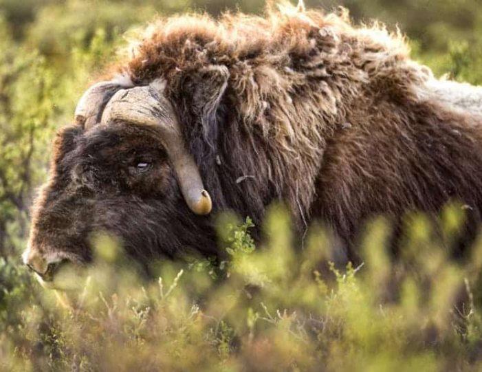 hike-to-garnet-rock-kangerlussuaq-west-greenland-guide to greenland (5)
