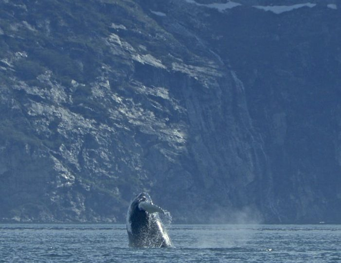 jumping-humpback-whale-fjord-cruise-nuuk-fjord-guide-to-greenland-5