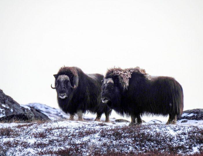 kangersuneq-fjord-safari-private-charter-qasigiannguit-diskobay-Guide to Greenland1