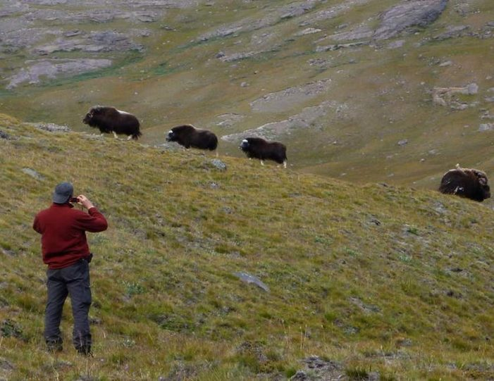 musk-ox-hike-kangerlussuaq-west-greenland-1 - Guide to Greenland (1)