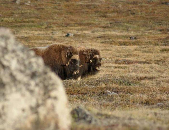 musk-ox-hike-kangerlussuaq-west-greenland-1 - Guide to Greenland (11)