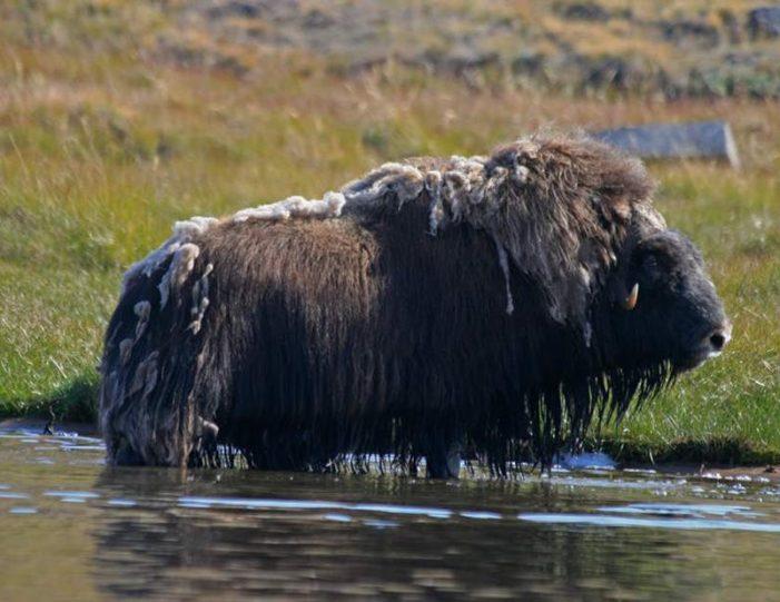 musk-ox-hike-kangerlussuaq-west-greenland-1 - Guide to Greenland (16)