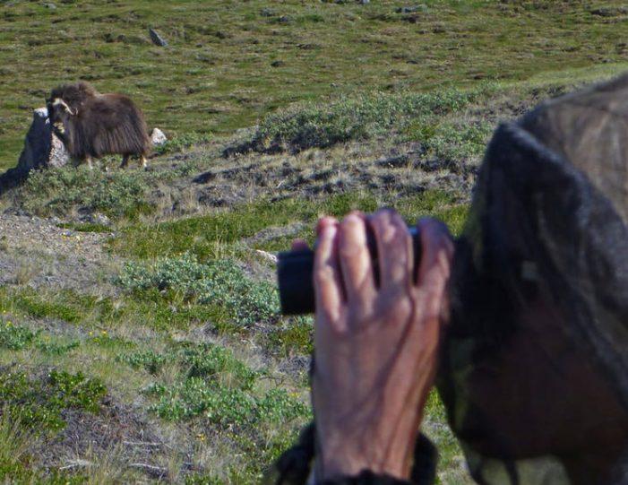 musk-ox-hike-kangerlussuaq-west-greenland-1 - Guide to Greenland (18)