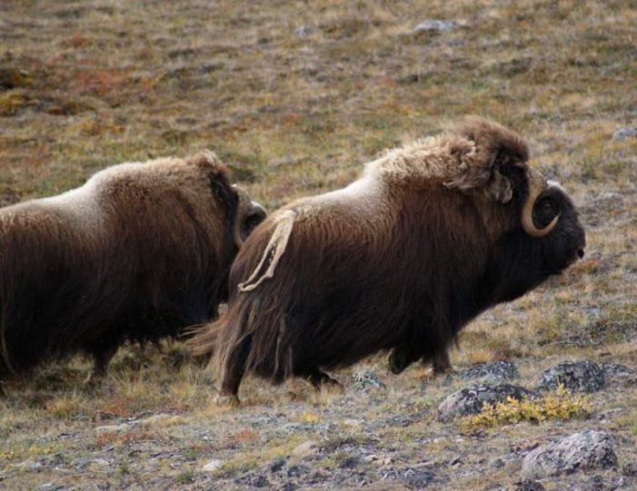 musk-ox-hike-kangerlussuaq-west-greenland-1 - Guide to Greenland (19)