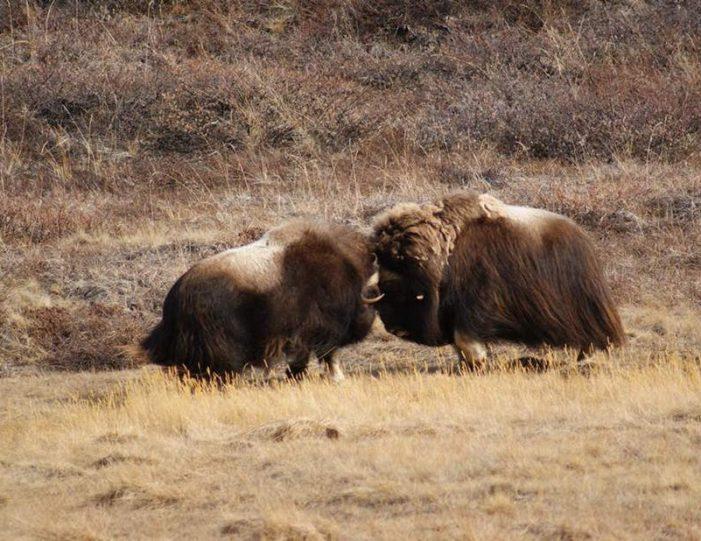 musk-ox-hike-kangerlussuaq-west-greenland-1 - Guide to Greenland (20)