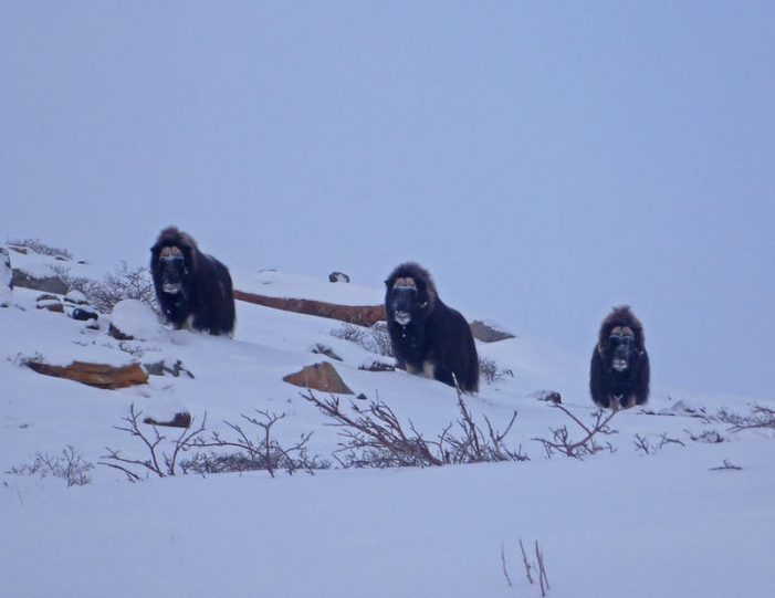 musk-ox-hike-kangerlussuaq-west-greenland-1 - Guide to Greenland (3)