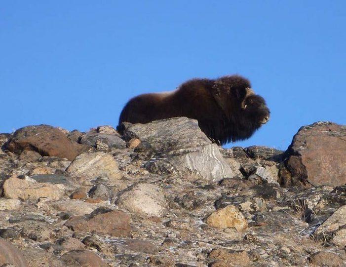 musk-ox-hike-kangerlussuaq-west-greenland-1 - Guide to Greenland (5)