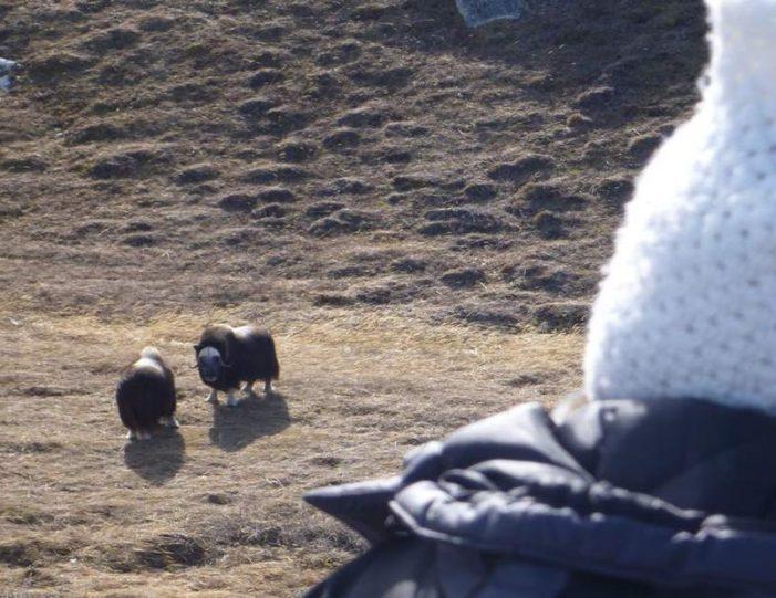 musk-ox-hike-kangerlussuaq-west-greenland-1 - Guide to Greenland (6)
