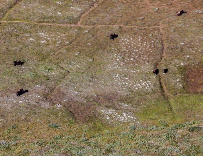 musk-ox-reindeer-ice-cap-tour-kangerlussuaq-6 - Guide to Greenland (7)