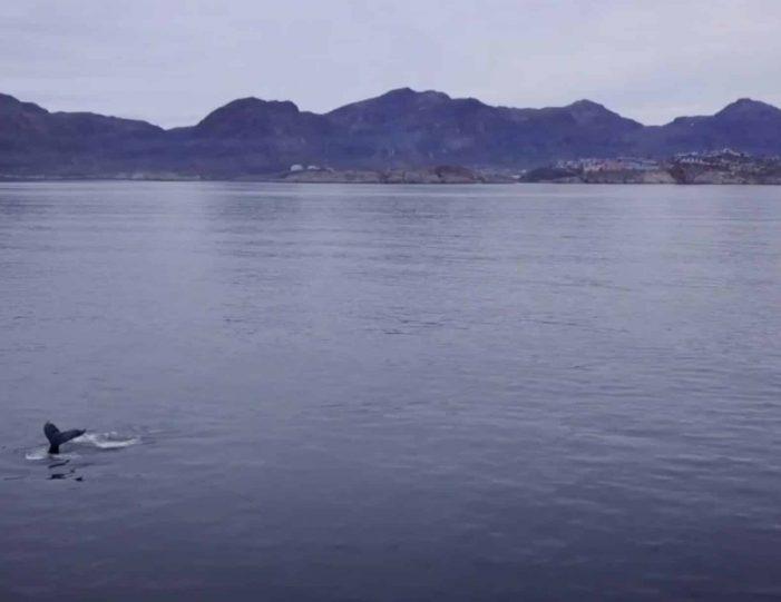 private-sea-safari-in-open-boat-sisimiut - Guide to Greenland5