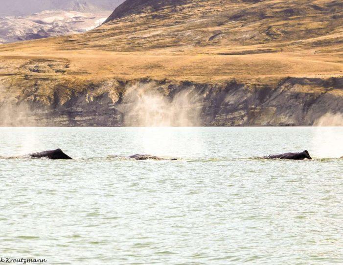 private-whale-musk-ox-safari-uummannaq-north-greenland-Guide to Greenland.jpg3