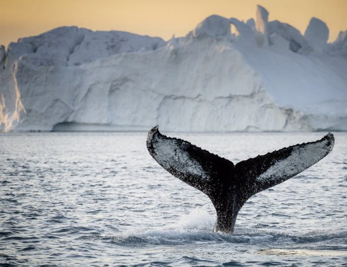 private-whale-safari-ilulissat-disko-bay- Guide to Greenland1