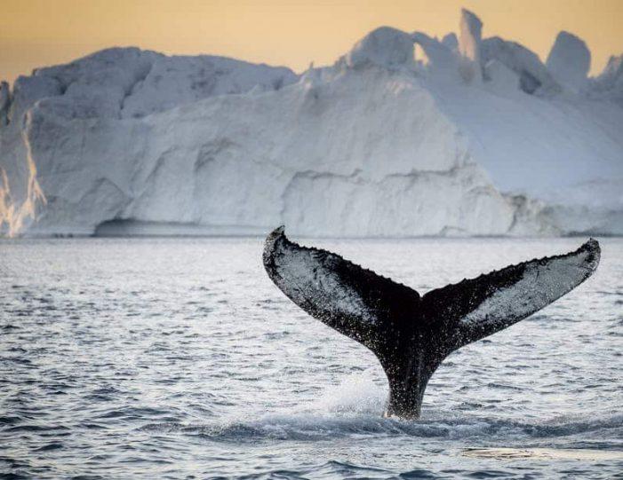 private-whale-safari-ilulissat-disko-bay- Guide to Greenland1