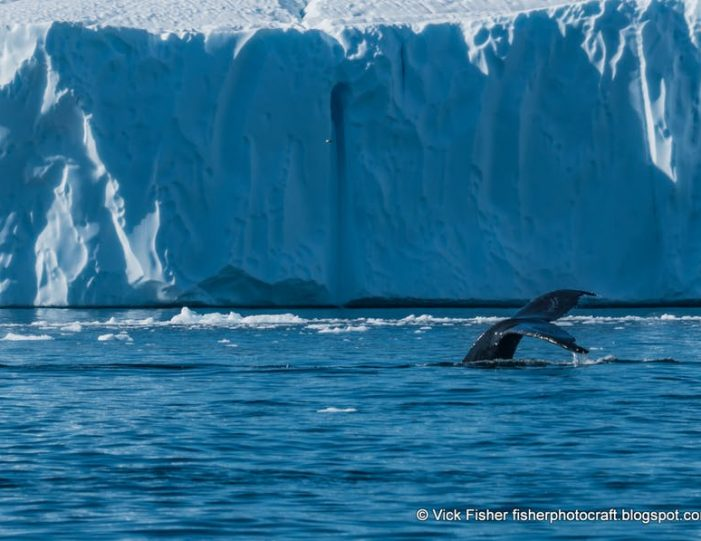 private-whale-safari-ilulissat-disko-bay- Guide to Greenland6