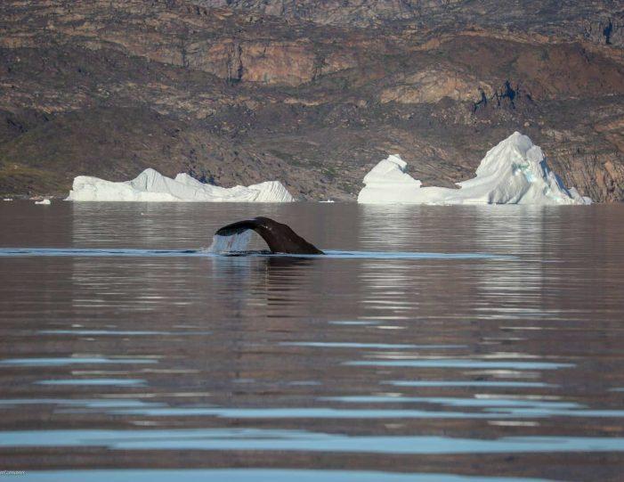 private-whale-safari-uummannaq-north-greenland - Guide to Greenland2