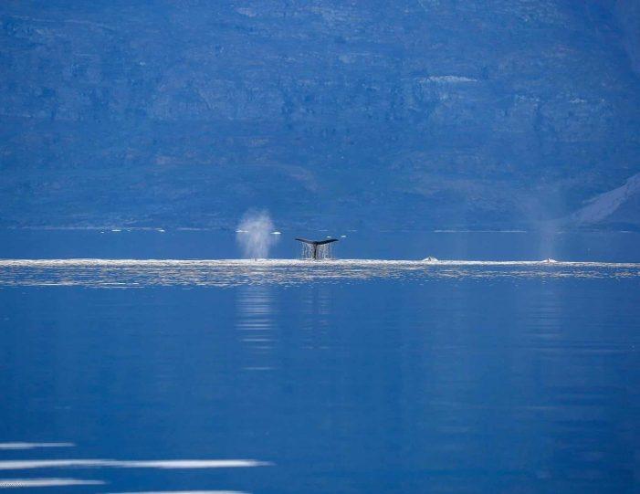 private-whale-safari-uummannaq-north-greenland - Guide to Greenland3
