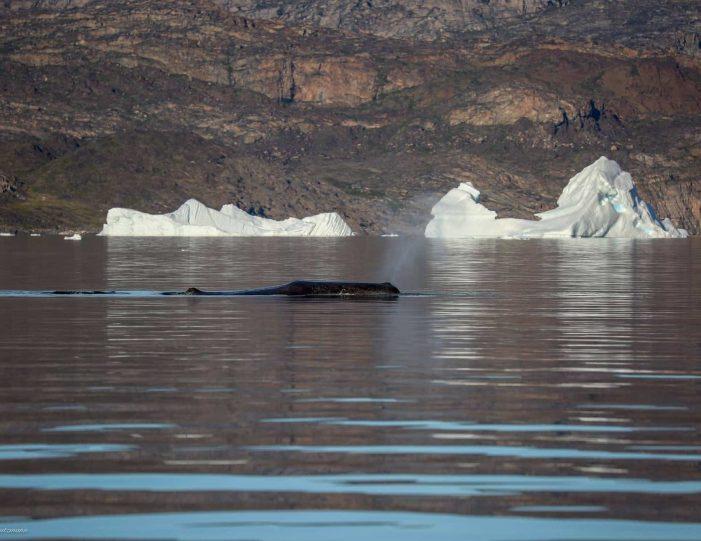 private-whale-safari-uummannaq-north-greenland - Guide to Greenland4