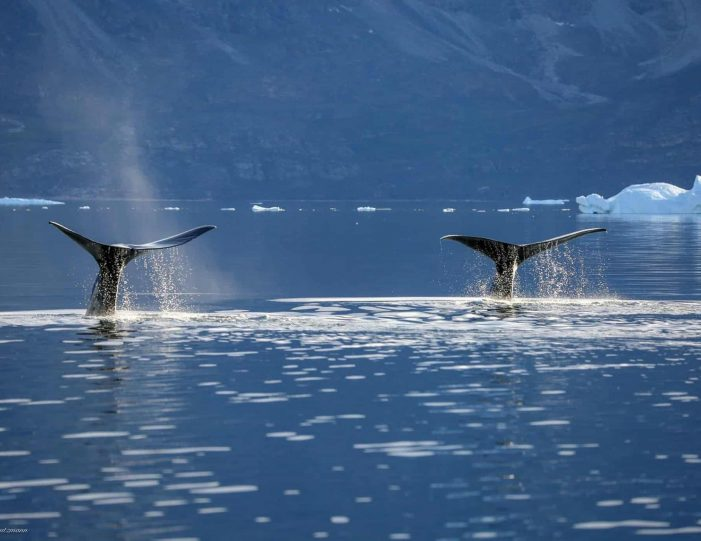 private-whale-safari-uummannaq-north-greenland - Guide to Greenland7