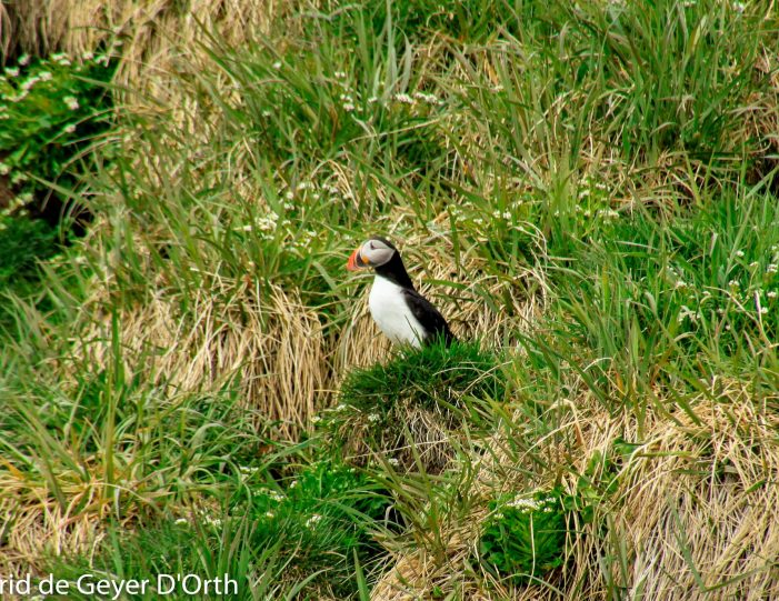 puffin-safari-nuuk - Guide to Greenland1