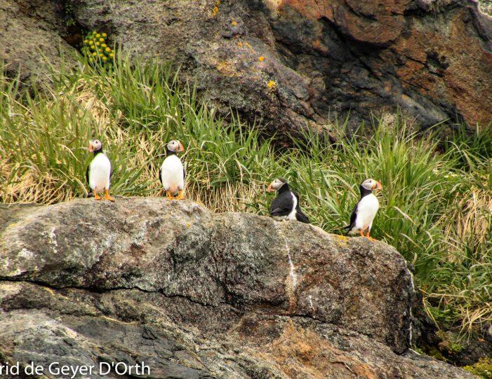 puffin-safari-nuuk - Guide to Greenland10