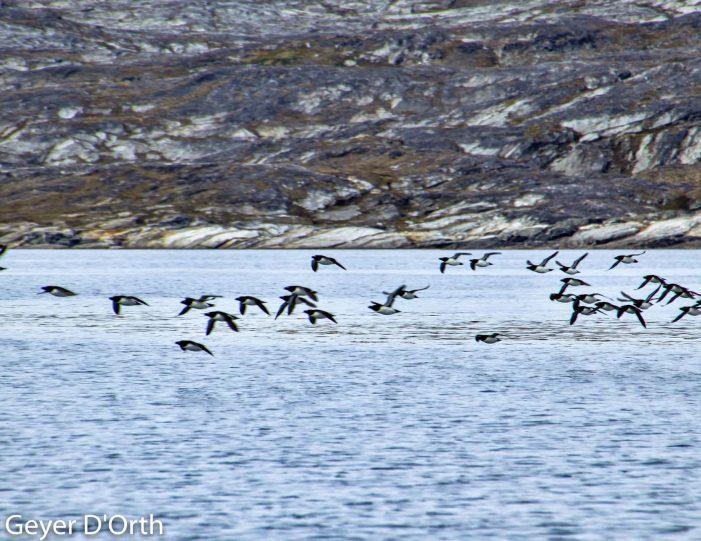 puffin-safari-nuuk - Guide to Greenland3