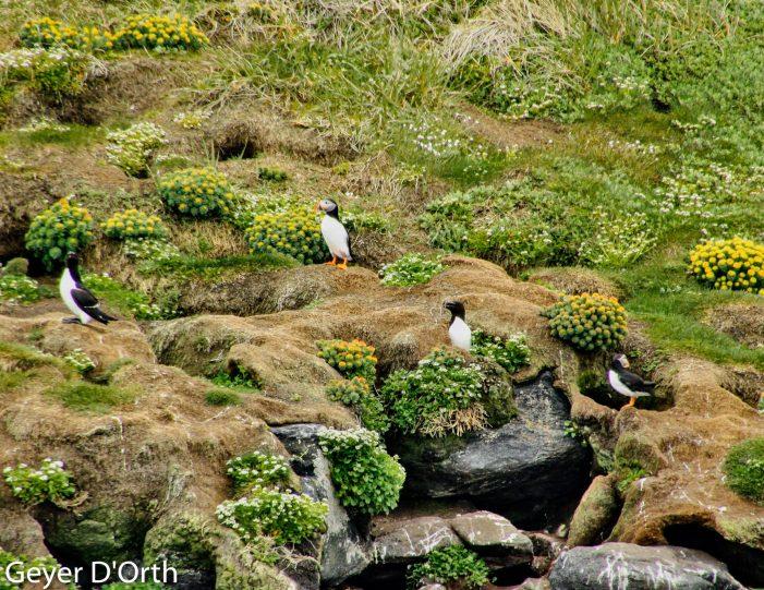 puffin-safari-nuuk - Guide to Greenland5