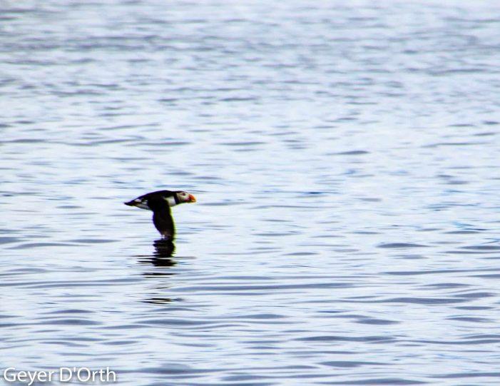 puffin-safari-nuuk - Guide to Greenland8