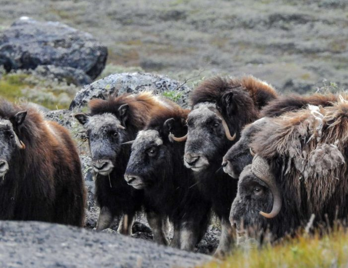 rom the Ice Cap to Unesco Heritage - 9 days | Kangerlussuaq | West Greenland - Guide to Greenland15