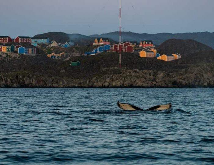 sea-safari-sisimiut-north-greenland - Guide to Greenland5