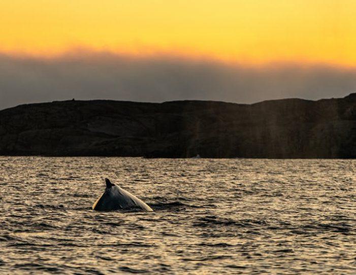 sea-safari-sisimiut-north-greenland - Guide to Greenland9