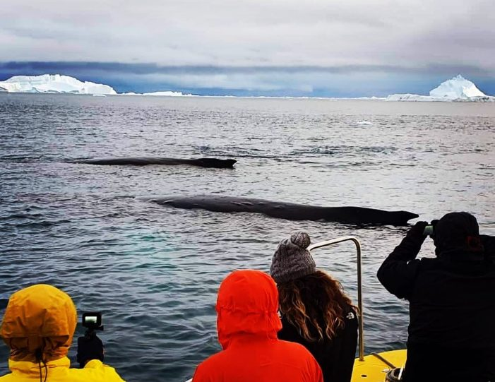 searching-for-humpback-whales-among-icebergs-ilulissat-Guide to Greenland2