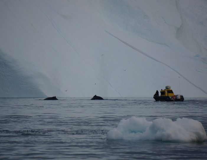 searching-for-humpback-whales-among-icebergs-ilulissat-Guide to Greenland4