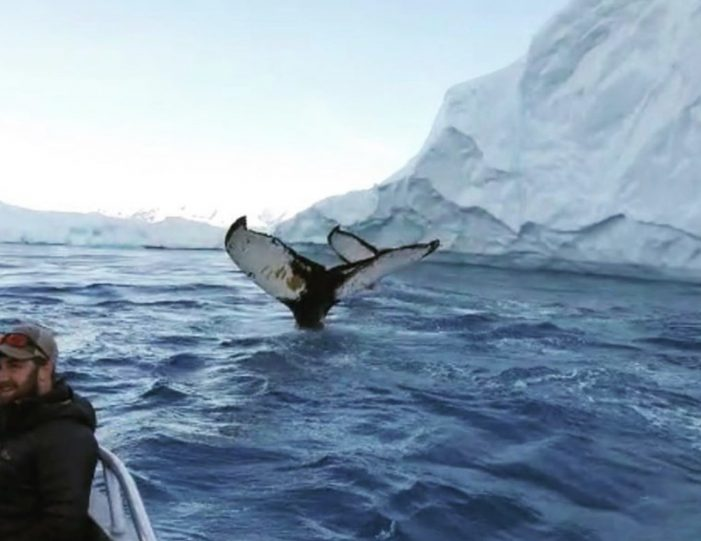 searching-for-humpback-whales-among-icebergs-ilulissat-Guide to Greenland6