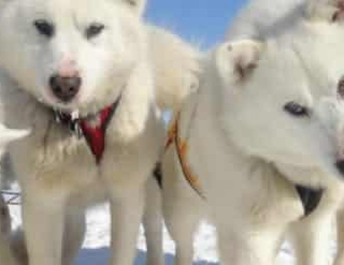 the-sled-dog-experience-ilulissat-disko-bay - Guide to Greenland5