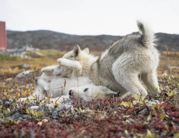 west-greenland-exploration-ilulissat-kangerlussuaq-day-Guide to Greenland10