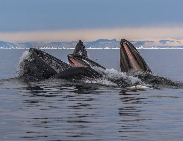whale-safari-ilulissat-disko-bay - Guide to Greenland4